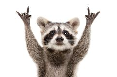 Portrait of a funny raccoon showing a rock gesture. Isolated on white background stock photography