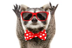 Portrait of a funny raccoon showing a rock gesture. Portrait of a funny raccoon in sunglasses and in bow showing a rock gesture stock photos