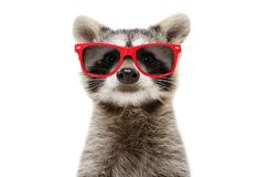 Portrait of a funny raccoon in sunglasses. Isolated on white background royalty free stock images