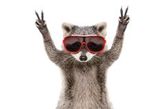Portrait of a funny raccoon in sunglasses, showing a sign peace stock images