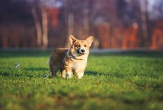 Portrait of funny red dog puppy Corgi walking on green young grass on spring Sunny meadow and catching shiny soap bubbles. Portrait of funny red dog puppy Corgi royalty free stock photography