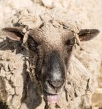 Portrait of funny sheep. Royalty Free Stock Images