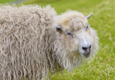 Portrait of Funny sheep, Smiling sheep royalty free stock images