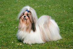 The portrait of funny Shih Tzu dog Stock Photos