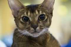 Portrait of a funny smart Abyssinian cat Stock Image