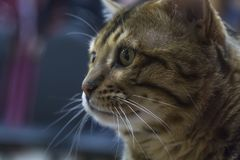 Portrait of a funny smart Bengal cat. Close up Stock Images