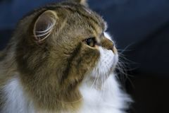 Portrait of a funny smart Scottish stright longhair cat royalty free stock photo