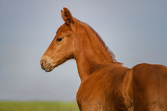 Portrait of funny sorrel foal Stock Photo