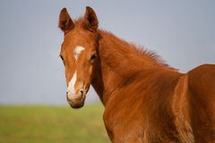 Portrait of funny sorrel foal Stock Photos