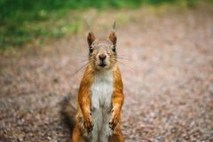 Portrait of funny squirrel looking at camera. Selective focus stock photography