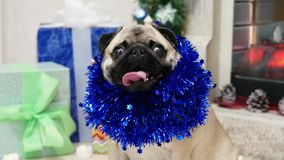 Portrait of funny surprised pug dog in christmas suit looking at camera