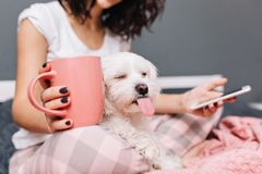 Portrait funny sweet moments of domestic pets chilling with young woman in pajama on bed. Little funny dog showing. Tongue to camera, girl with cup of tea royalty free stock photos