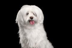 Portrait of Funny White Maltese Dog Looking in Camera isolated. On Black background Stock Images