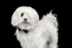 Portrait of Funny White Maltese Dog Looking in Camera isolated. On Black background Royalty Free Stock Photo