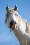 Portrait of funny wild horse Royalty Free Stock Photography