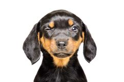 Portrait of a funny winking puppy royalty free stock images
