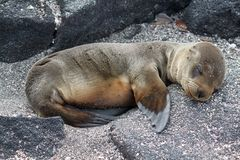Portrait of fur sea lion pup (Galapagos, Ecuador) Royalty Free Stock Photos