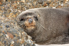 Portrait Fur Seal, Arctocephalus forsteri,South Island New Zealand Royalty Free Stock Photo