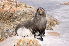 Portrait Fur Seal, Arctocephalus forsteri,South Island New Zealand Stock Photography