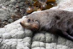 Portrait Fur Seal, Arctocephalus forsteri,South Island New Zealand Royalty Free Stock Images