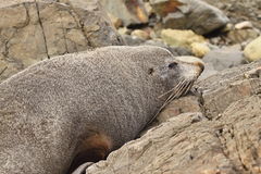 Portrait Fur Seal, Arctocephalus forsteri,South Island New Zealand Stock Image