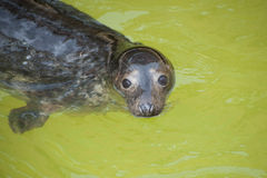 Portrait Fur seal emerges from the water. Royalty Free Stock Photography