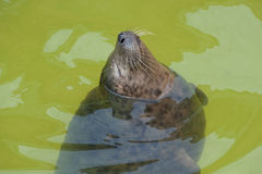 Portrait Fur seal emerges from the water. Royalty Free Stock Photo