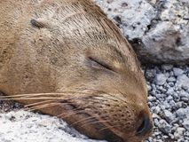 Closeup of a fur seal the galapagos islands ecuador royalty free stock photo