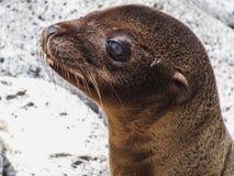 Closeup of a fur seal the galapagos islands ecuador stock photography