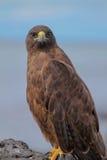 Portrait of Galapagos Hawk (Buteo galapagoensis) Royalty Free Stock Image
