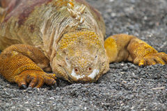 Portrait of Galapagos Land Iguana, Conolophus subcristatus Stock Image