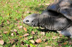 Portrait of Galapagos tortoise Royalty Free Stock Images