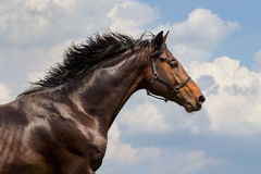 Portrait of galloping horse Stock Photography