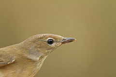 Portrait of Garden Warbler Royalty Free Stock Photos