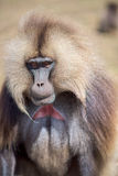Portrait of gelada baboon Royalty Free Stock Images
