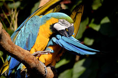 Portrait of  gelbbrustara macaw on branch Stock Photography