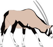 Portrait of a gemsbok or oryx gazella antelope, running Stock Images