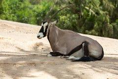 Portrait of Gemsbok, Oryx gazella Stock Photo