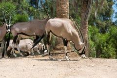 Portrait of Gemsbok, Oryx gazella, Royalty Free Stock Photos
