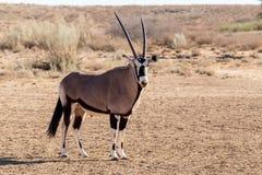 Portrait of Gemsbok, Oryx gazella Royalty Free Stock Images