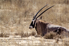 Portrait of Gemsbok, Oryx gazella Stock Images