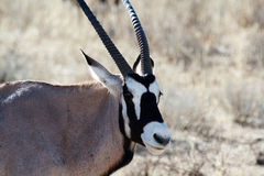 Portrait of Gemsbok, Oryx gazella Royalty Free Stock Images