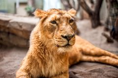 Portrait of a gentle and peaceful lioness resting Royalty Free Stock Photos