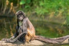 Portrait of Geoffroy's spider monkey Stock Photo