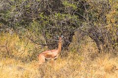 Portrait of gerenuk gazelles in Meru park. Kenya, Africa royalty free stock photo