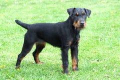 Portrait of German Hunting Terrier Stock Photo