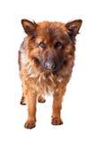 German shepherd long fur Royalty Free Stock Photography