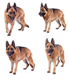 German shepherd collection. Portrait of german sheperd on white background Stock Images