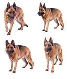 German shepherd collection stock images