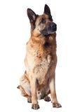 German shepherd. Portrait of german sheperd on white background Royalty Free Stock Images